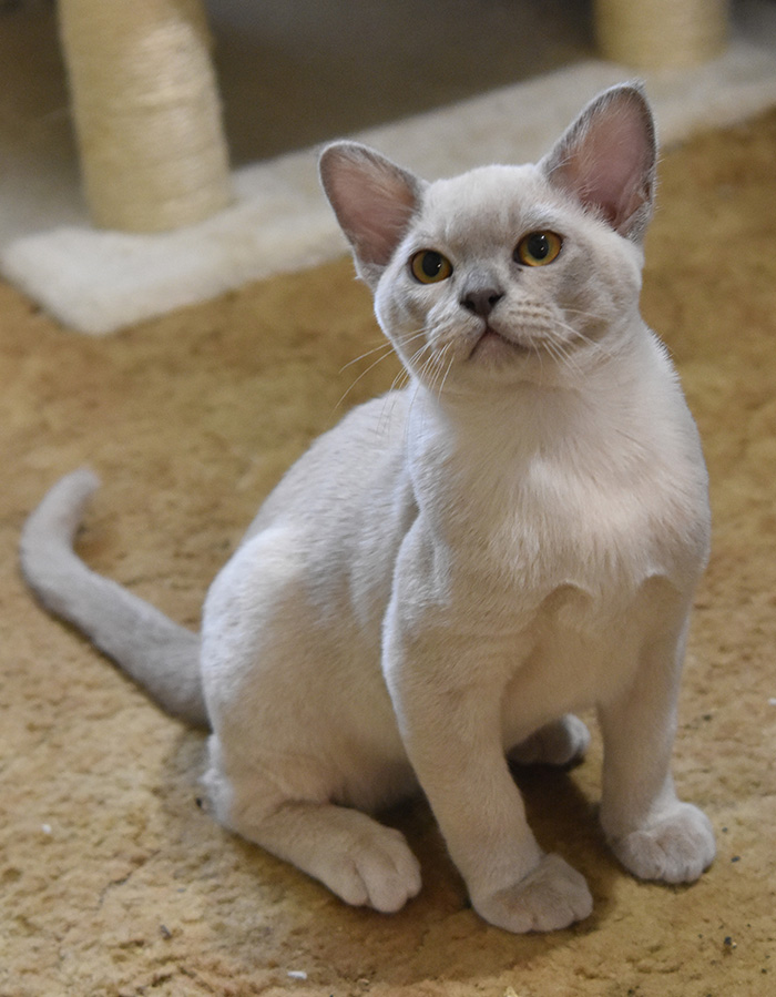 Burmese Cats Kittens Wilmavohnne Cairn Terriers Burmese Cats